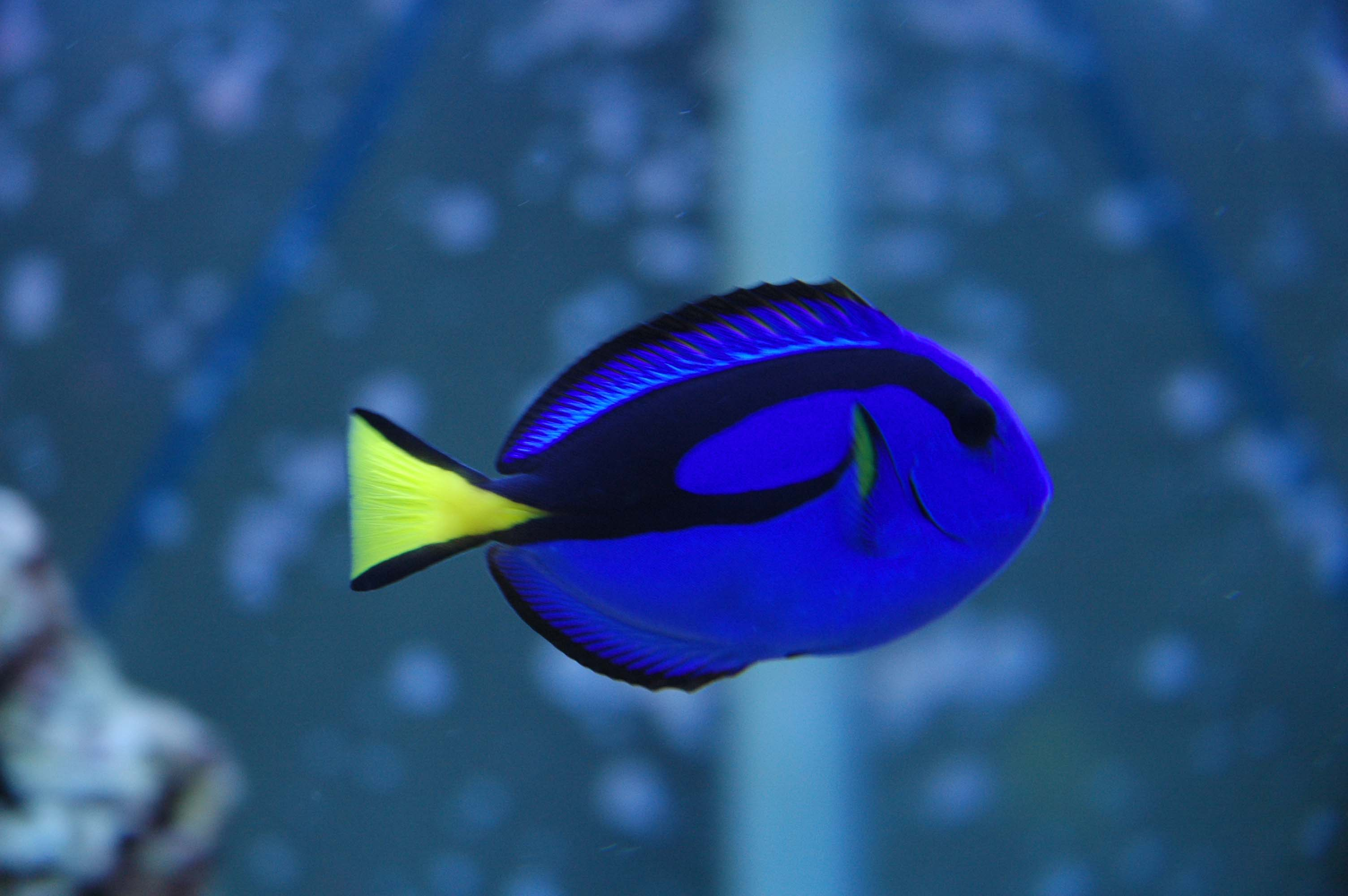 Regal Blue Tang The Is...